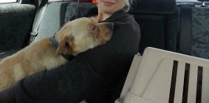 2-3 metų šarpėjaus ir takso mišrūnas, labai mielas, draugiškas, norintis žmogaus šilumos. Sužeistas vokas, pradėtas gydimas antibiotikais. 862599726