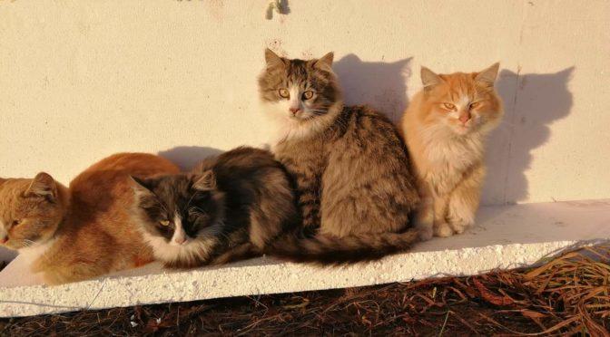 Šeduvos kačiukai – 865765523