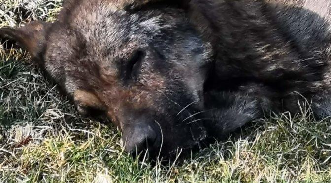 Durpynų šunelis…